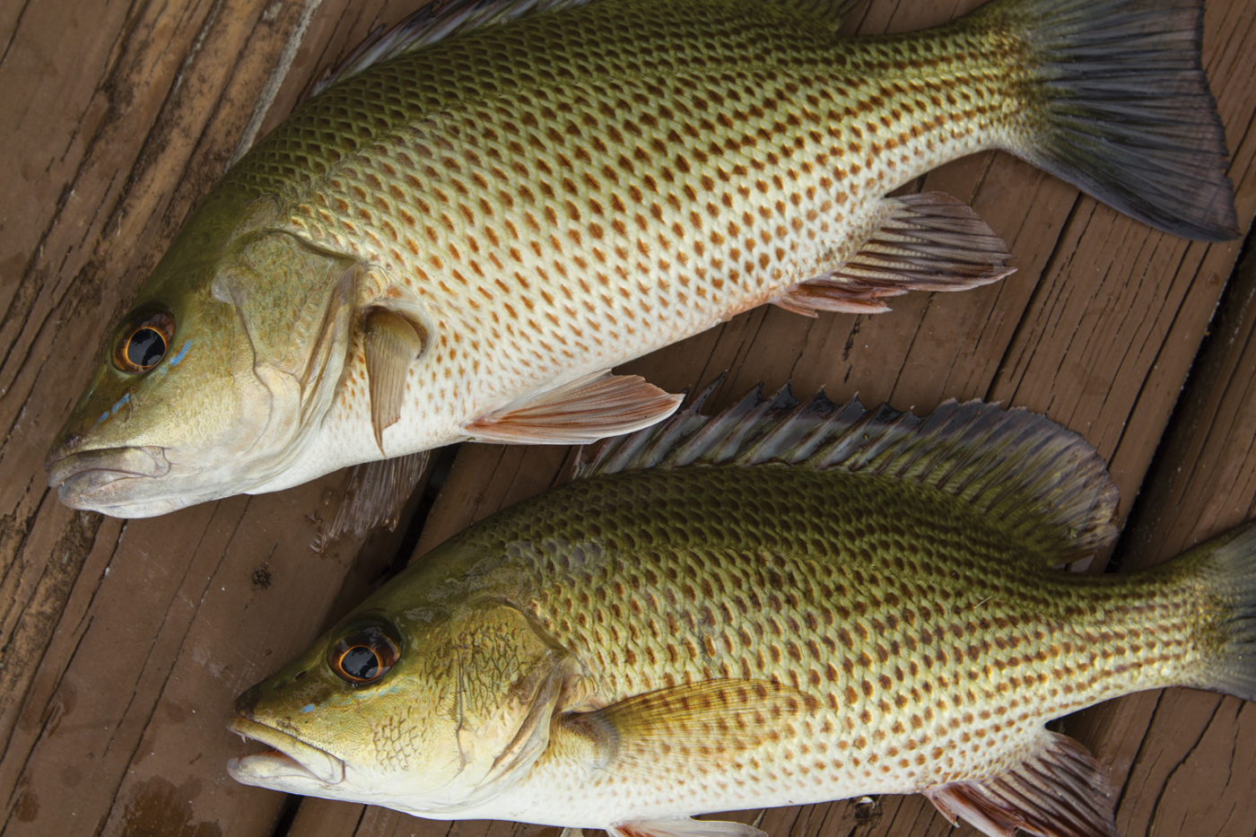 Tasty mangrove snapper are open to Gulf anglers all year long.