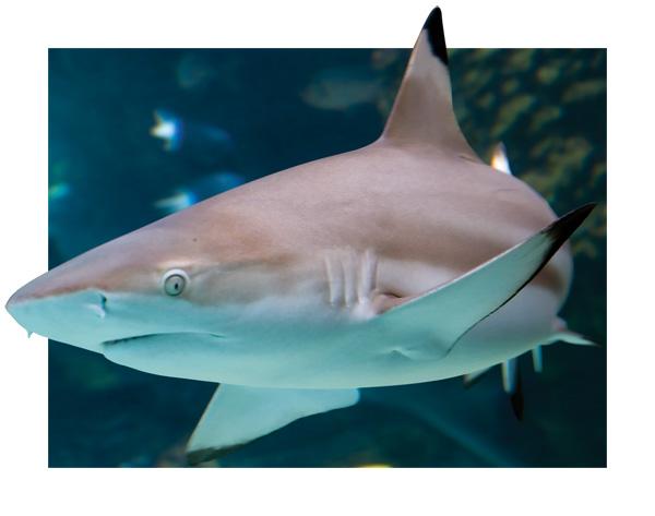 sharkery